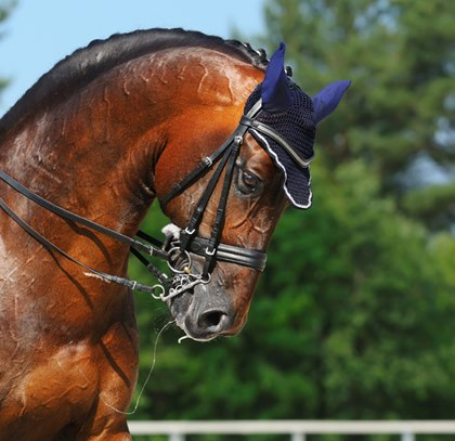 dressage-horse-with-tight-noseband